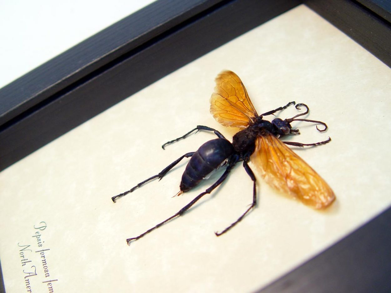 Pepsis formosa female Tarantula Hawk Wasp ooak