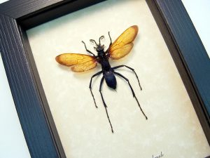 Pepsis formosa female Tarantula Hawk Wasp Display ooak
