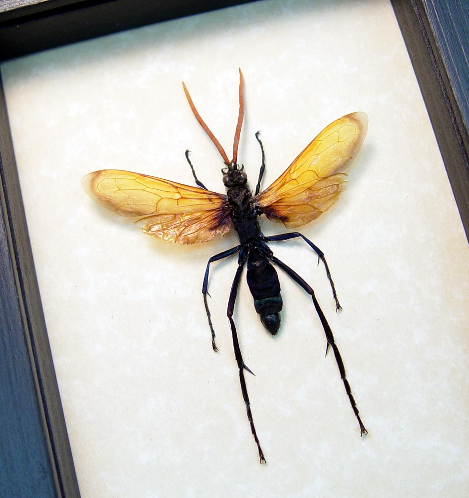 Pepsis heros male Tarantula Hawk Wasp Display ooak