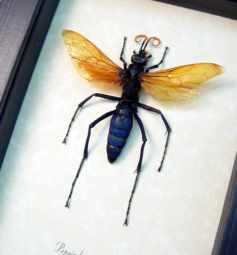Pepsis heros Female Tarantula Hawk Wasp Display ooak
