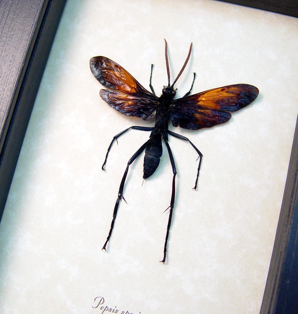 Pepsis Wasp Male Tarantula Hawk Wasp Display ooak
