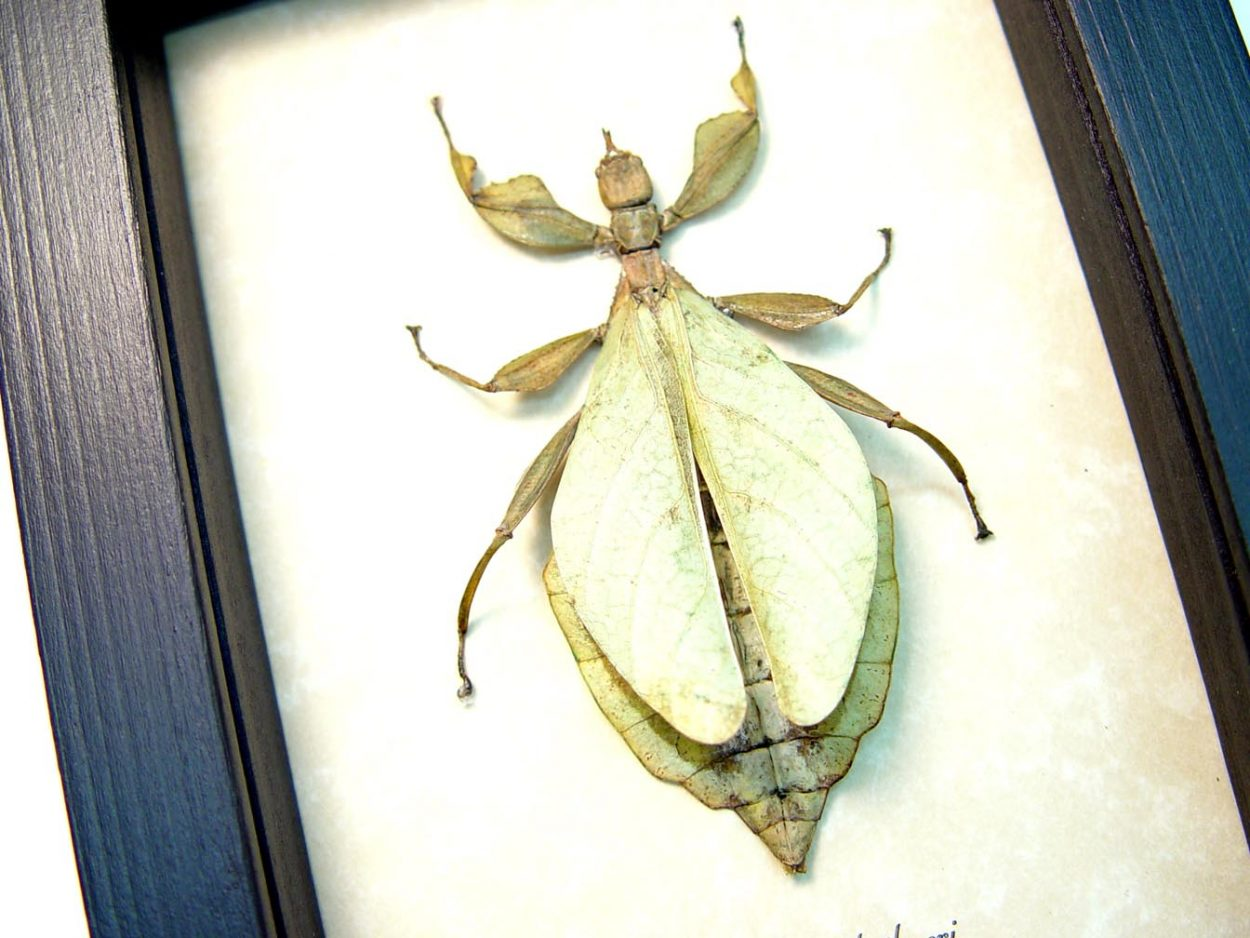 Phyllium hausleithneri Dead Walking Leaf Mimic Insect ooak