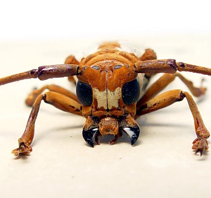 Prosopocera lactator African Longhorn Beetle