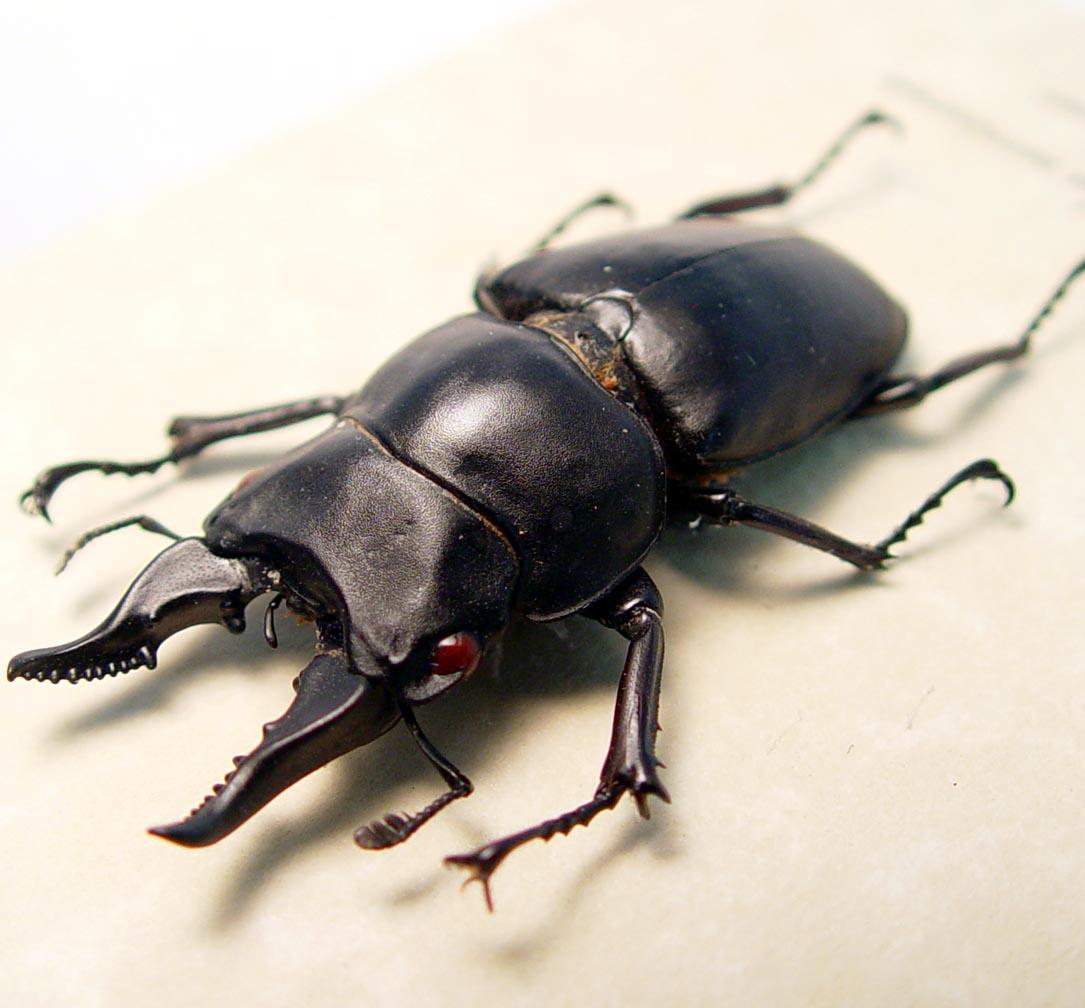 Prosopocoilus serricornis Madagascar Stag Beetle Scary Mandibles ooak