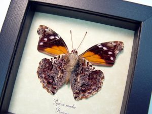 Pycina zamba verso Cloud Forest Butterfly ooak