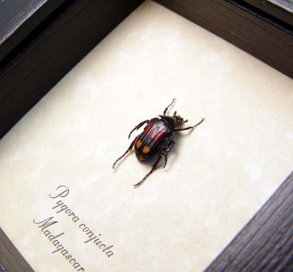 Pygora conjucta Red Gold Domino Beetle
