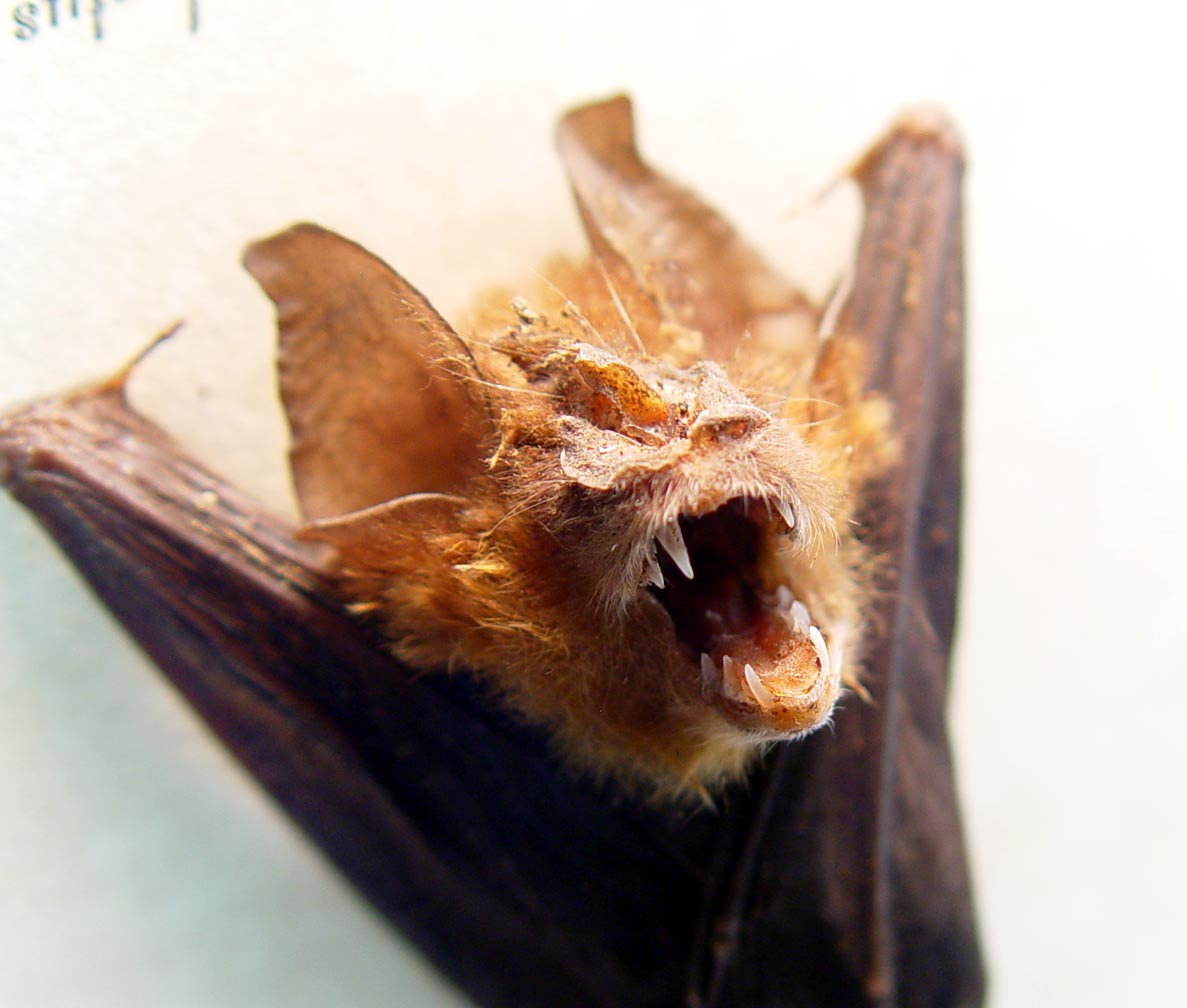 Rhinolophus luctus Woolly Horseshoe Bat Framed Taxidermy