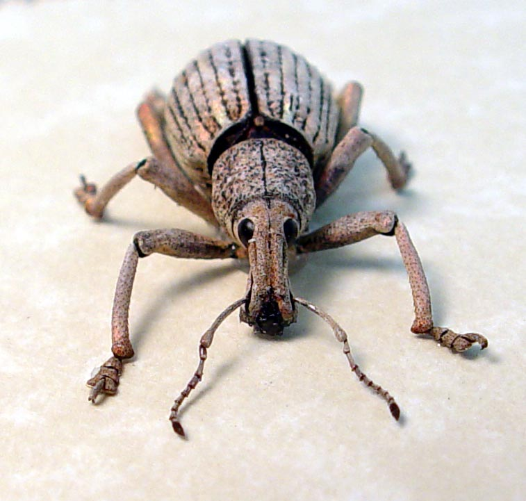 Rhinoscapha striatopunctata Glowing Peach Weevil Beetle