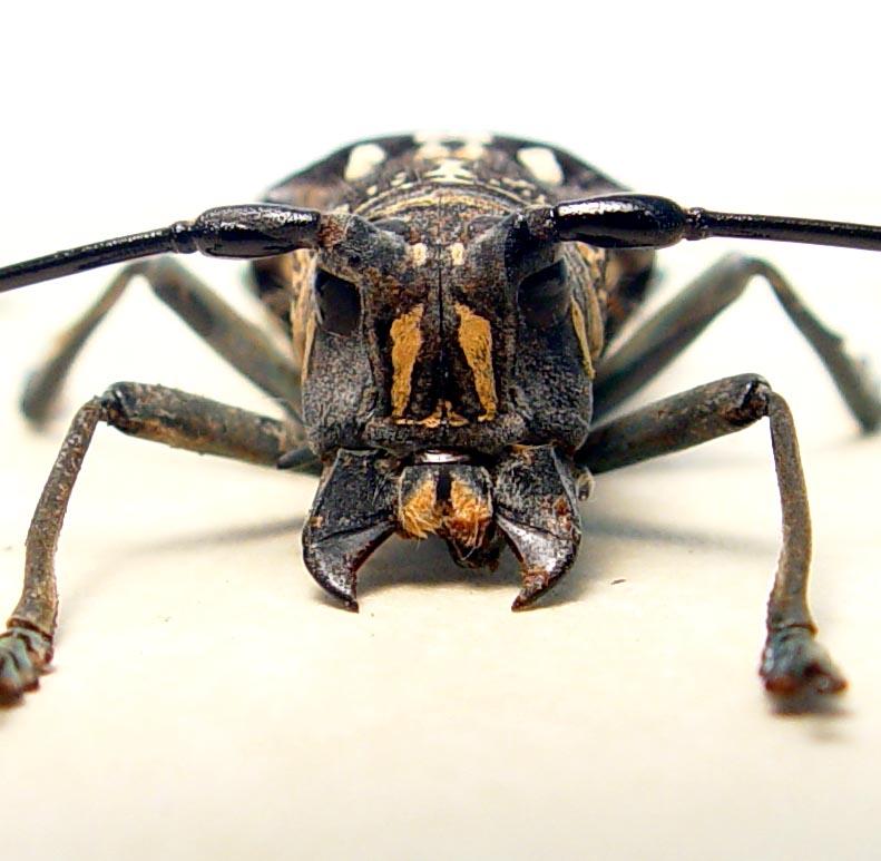 Stellognatha maculata Longhorn Beetle Madagascar Insect
