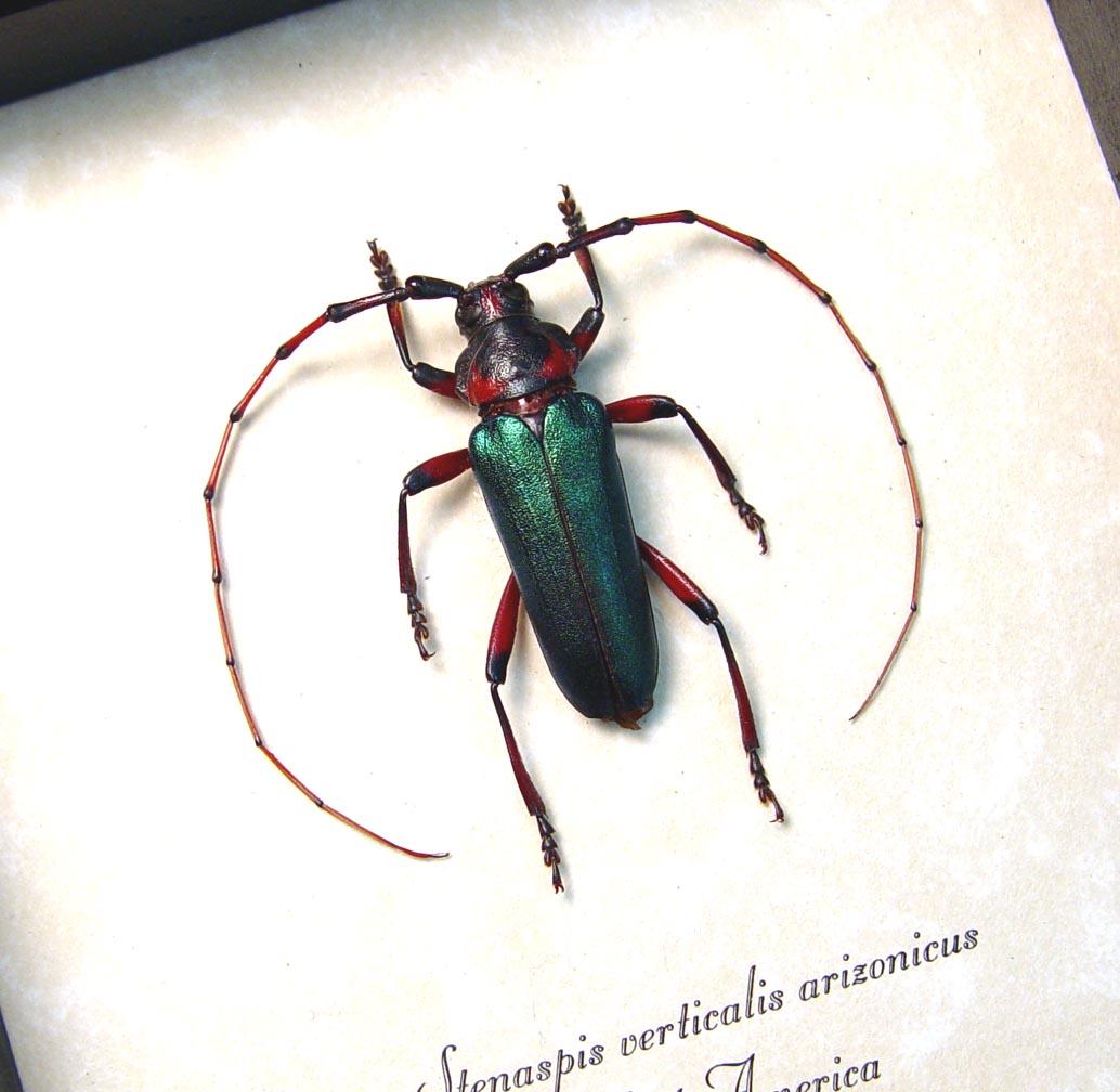 Stenaspis verticalis arizonicus Green Longhorn Beetle Arizona