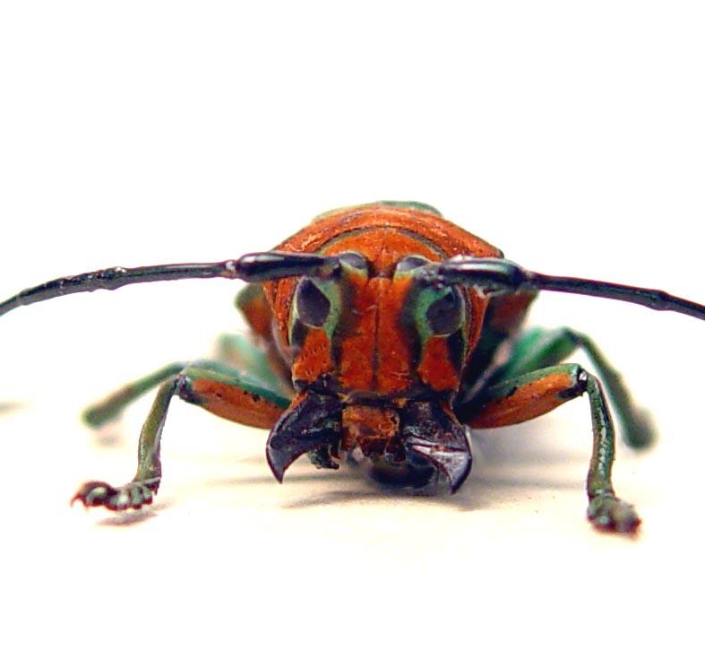 Sternotomis pulchra Orange Longhorn Beetle ooak