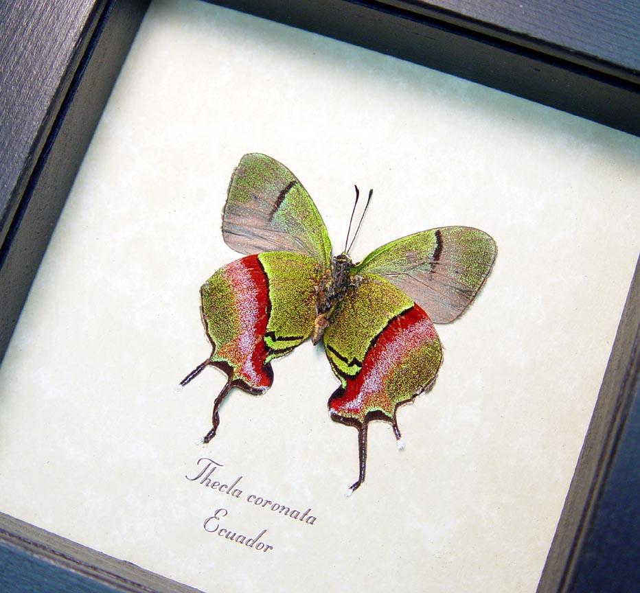 Thecla coronata Hewitson's Hairstreak Framed Butterfly ooak