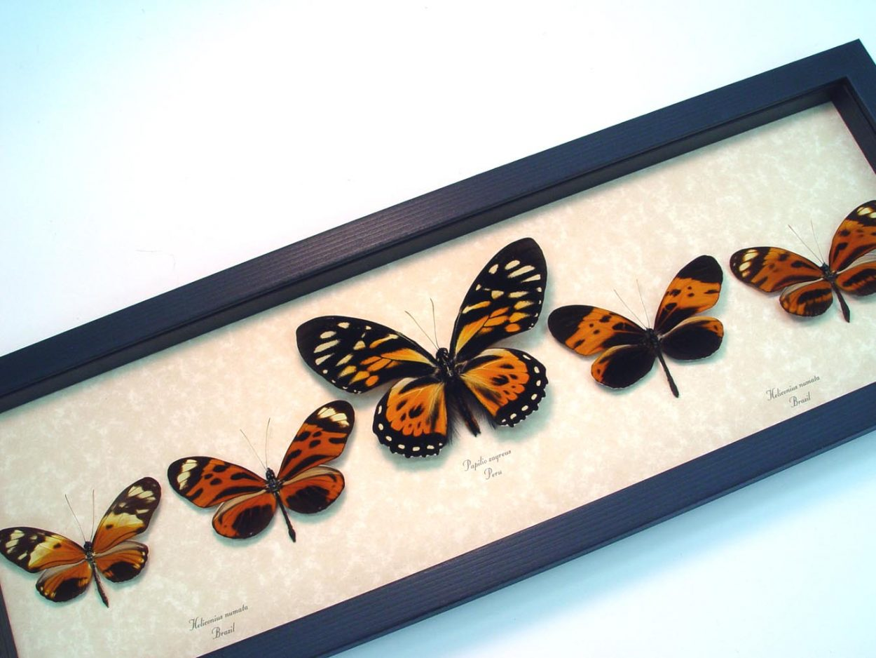 Tiger Mimic Butterfly Collection ooak