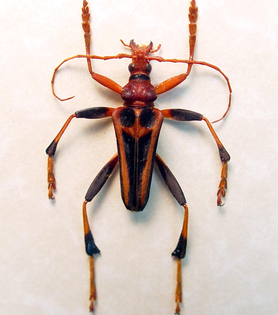 Mastododera transversalis Creepy Red Devil Face Madagascar Beetle ooak