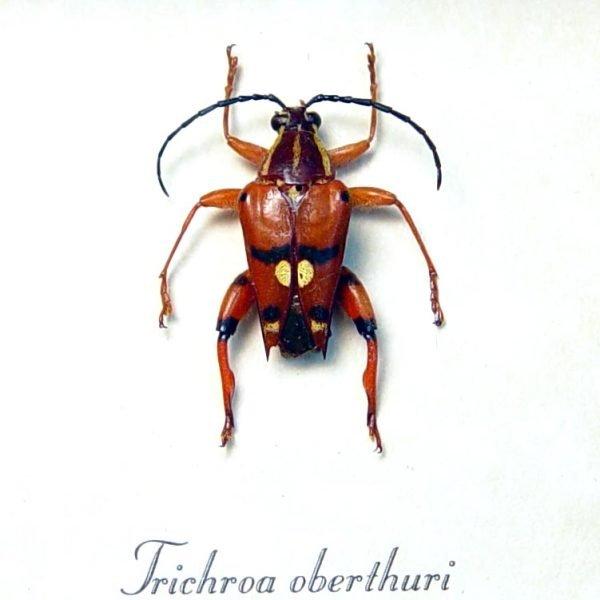 Trichroa oberthuri Red Devil Madagascar Longhorn Beetle