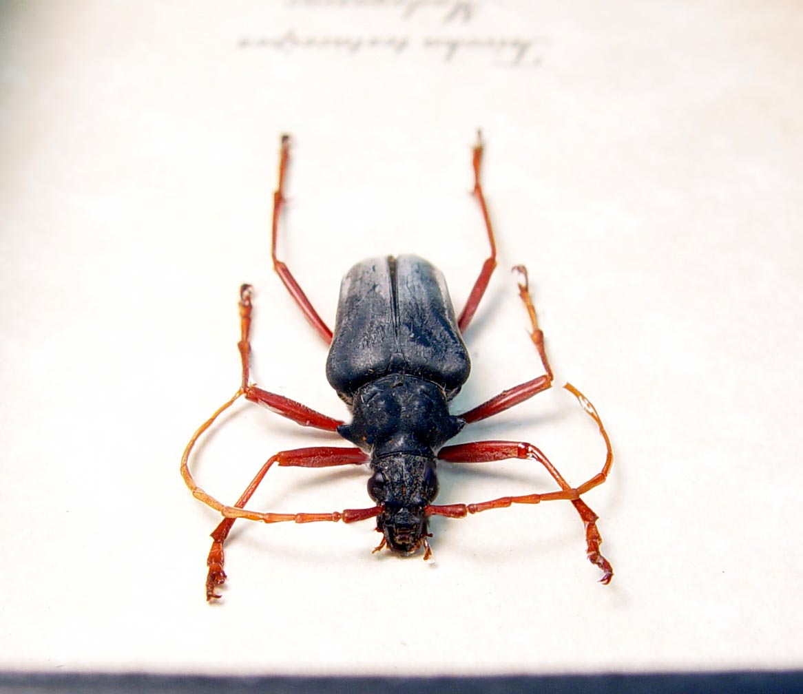 Tsivoka testaceipes Titanium Silver Longhorn Beetle Madagascar