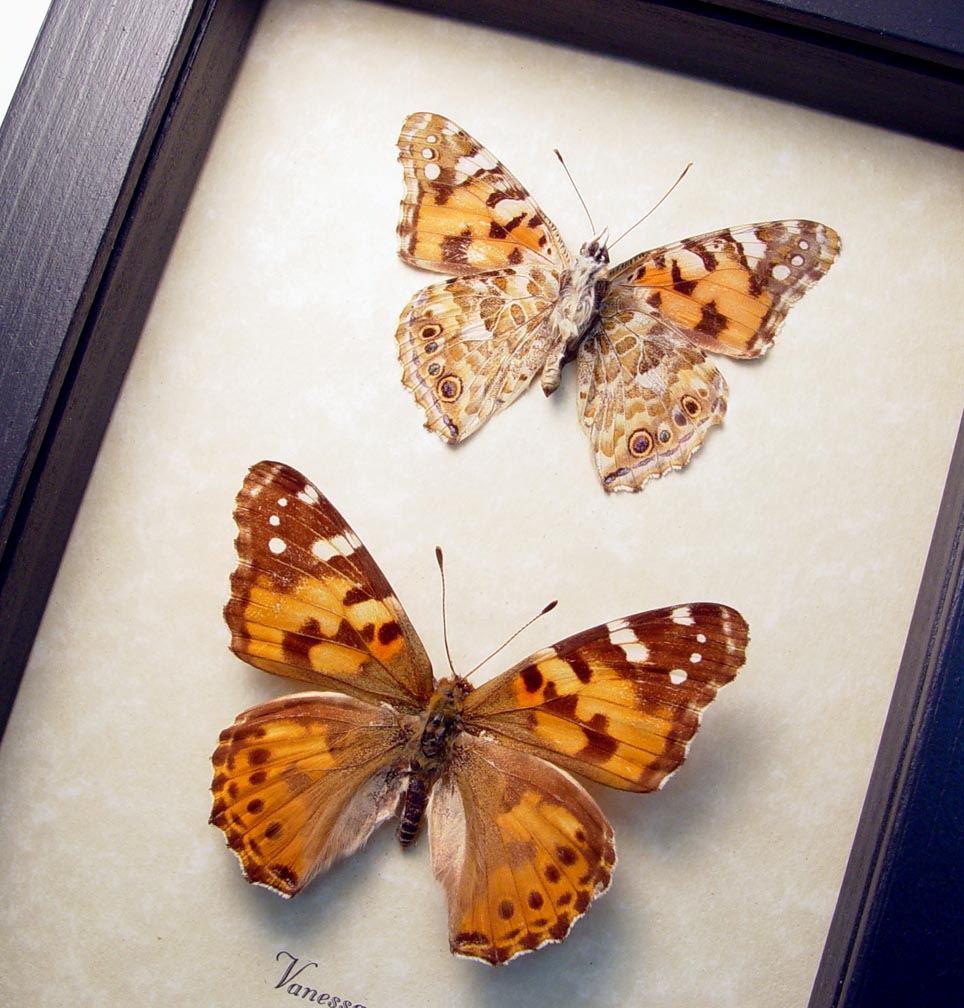Vanessa cardui Pair Painted Lady butterflies