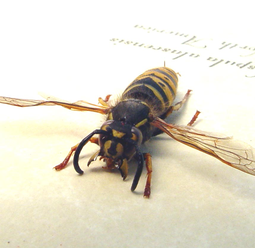 Vespula alascensis Yellow Jacket Queen Wasp ooak
