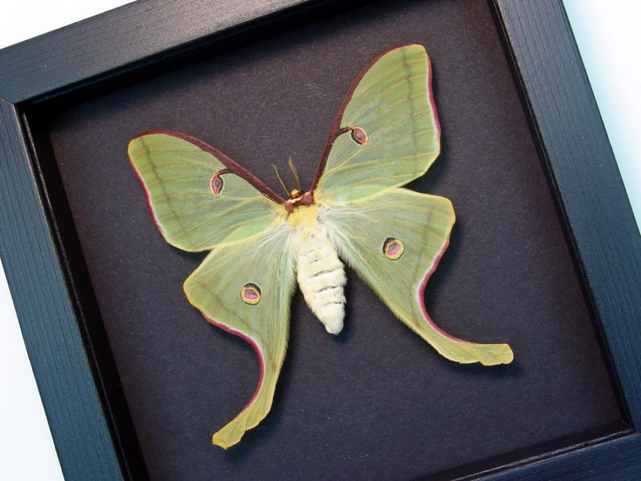 Actias luna rubromarginata Female Luna Moth Moonlight Display ooak