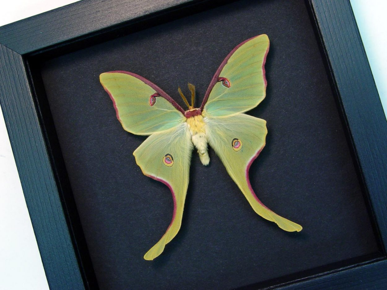 Actias luna rubromarginata Male Luna Moth Moonlight Display