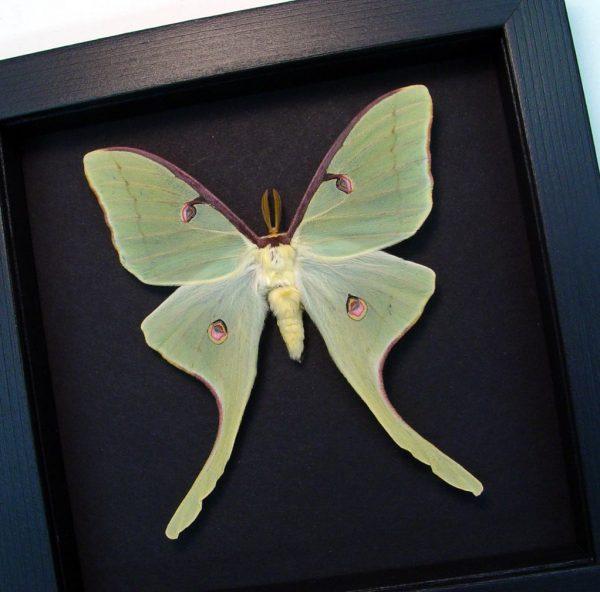 Actias luna rubromarginata Male Large Luna Moth Moonlight Display ooak
