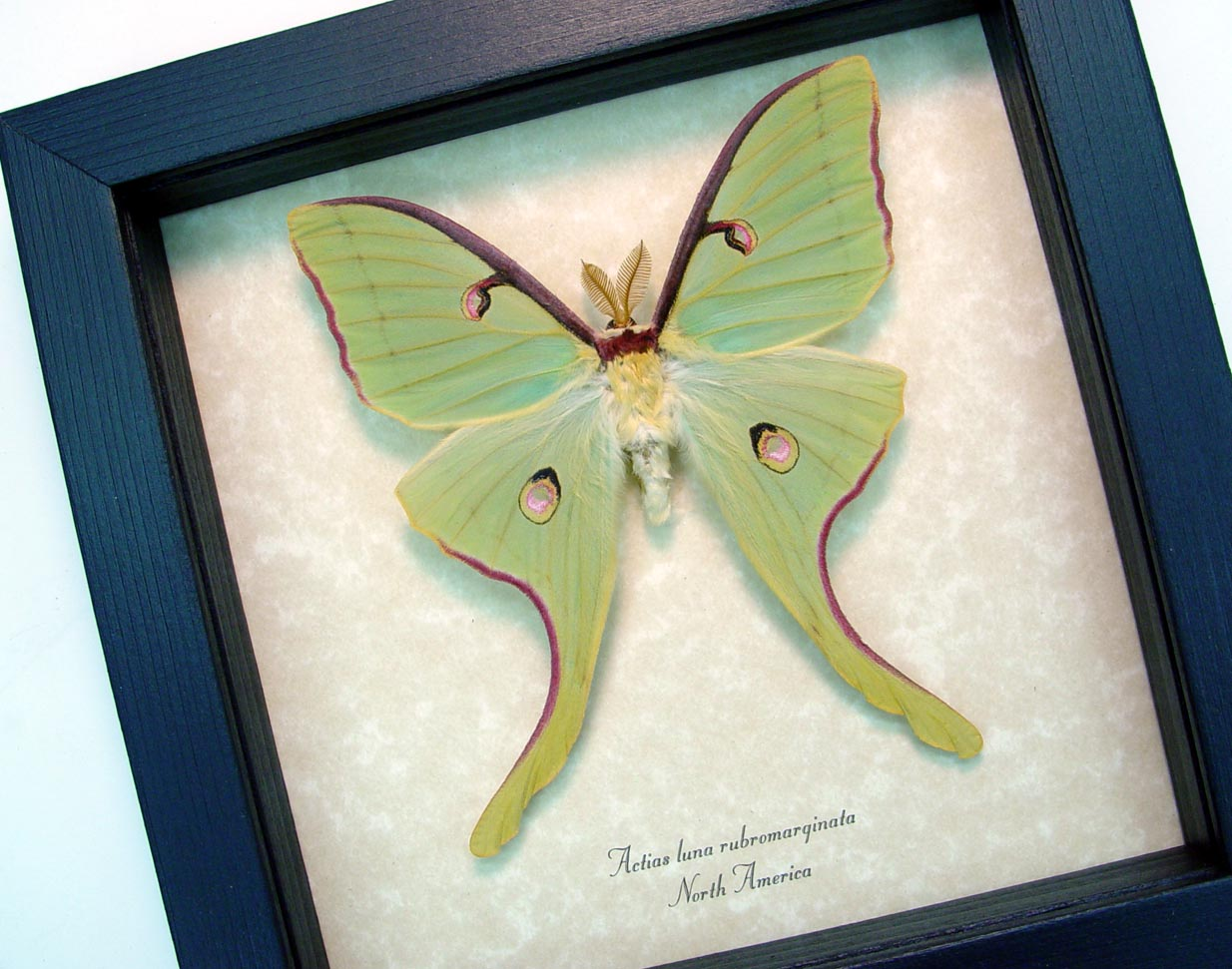 Framed Luna Moth Actias luna rubromarginata Male display