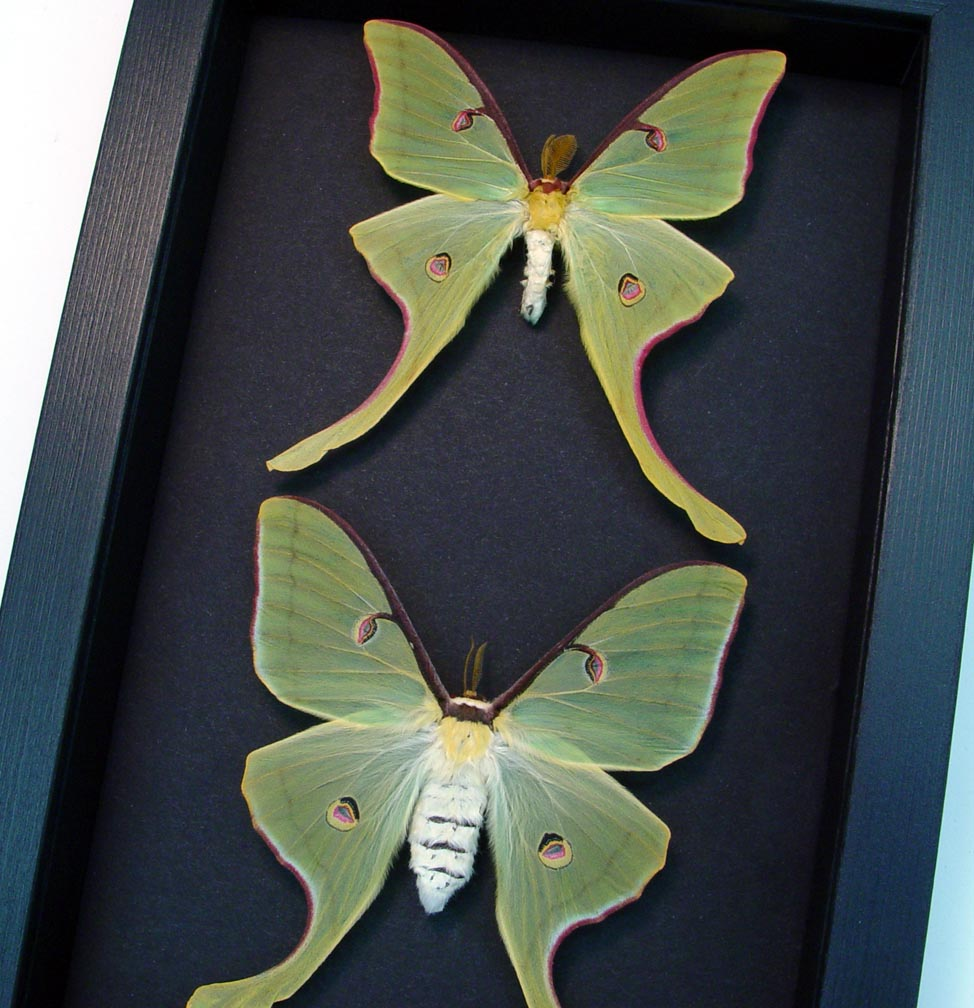 Framed Luna Moths Actias luna rubromarginata Pair Moonlight Display