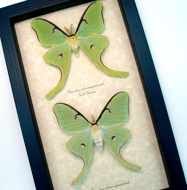 Framed Luna Moths Actias luna rubromarginata Pair ooak