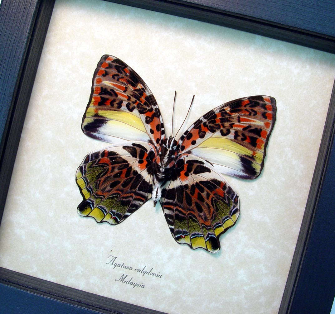 Agatasa calydonia Glorious Begum Framed Butterfly ooak  OOAK One Of A Kind Item-The Specimen Pictured Is The Actual Item You Will Receive! Specimen size: 82mm Wingspan  Species: Agatasa calydonia Common Name: The glorious begum