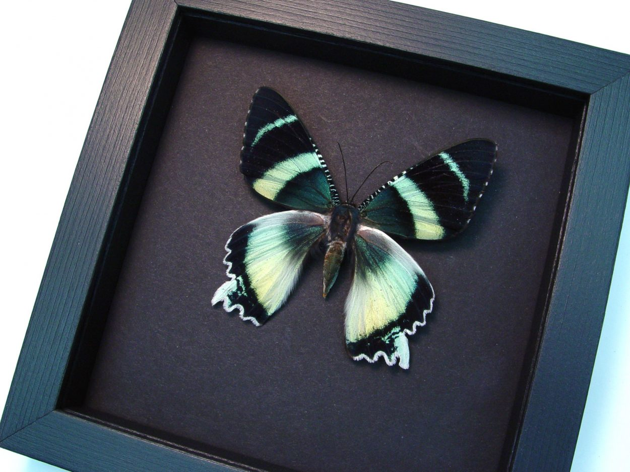 Alcidis agathyrus Zodiac Moth Moonlight Display ooak
