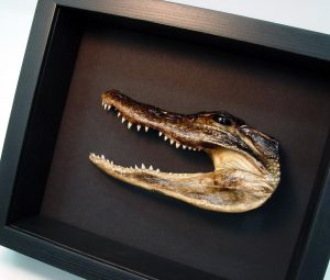 Alligator Mississippiensis American Reptile Framed Alligator Moonlight Display ooak