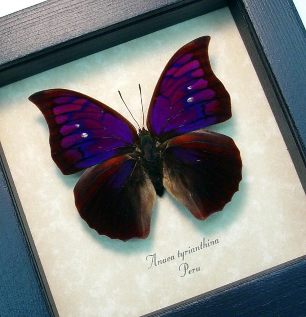 Anaea Tyrianthina Male Vibrant Purple Butterfly