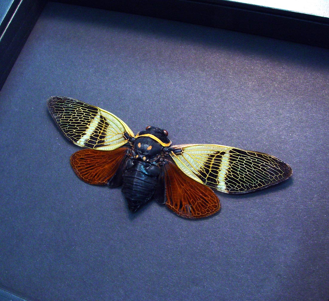 Angamiana floridula Rusty Cicada Framed Insect Moonlight Display ooak