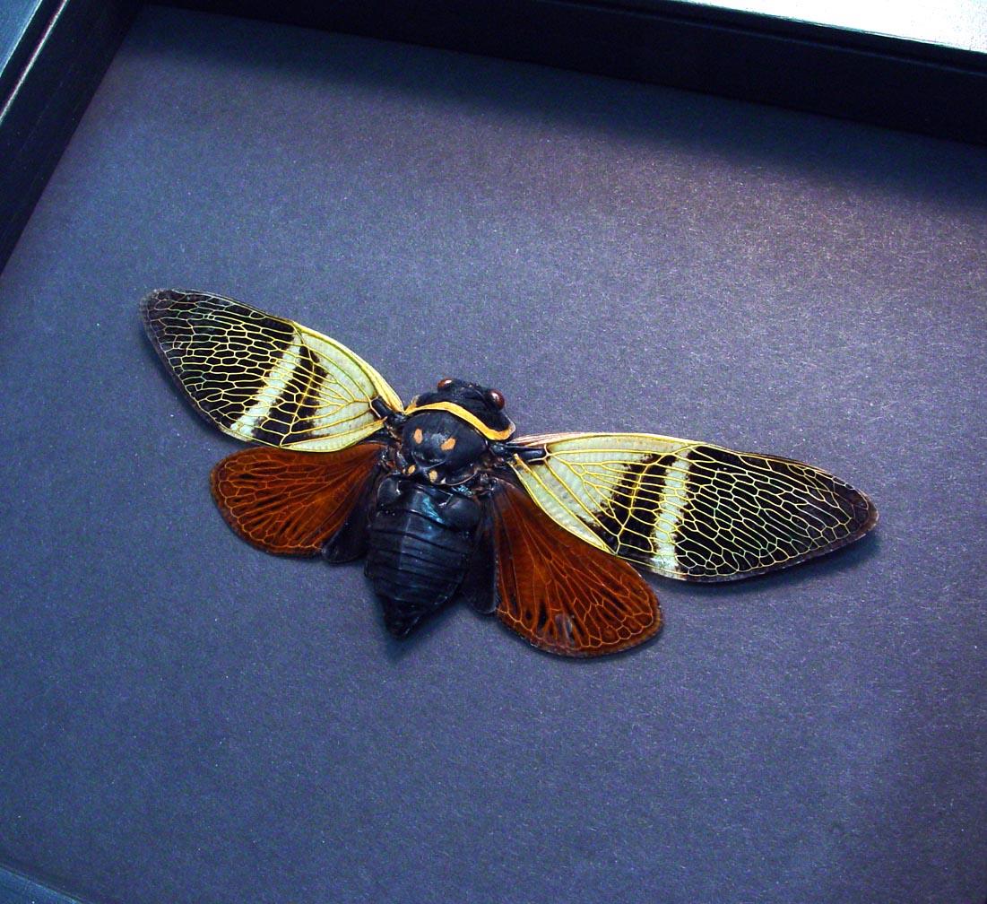 Angamiana floridula Rusty Cicada Framed Insect Moonlight Display ooak
