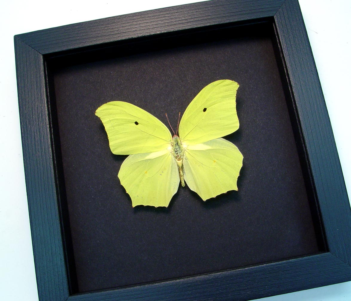 Anteos maerula Yellow Angled Sulphur Jamaica Butterfly Moonlight Display ooak