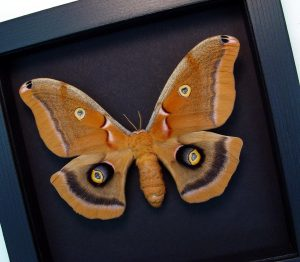 Antheraea polyphemus Female Framed Moth Silkmoth Moonlight Display ooak