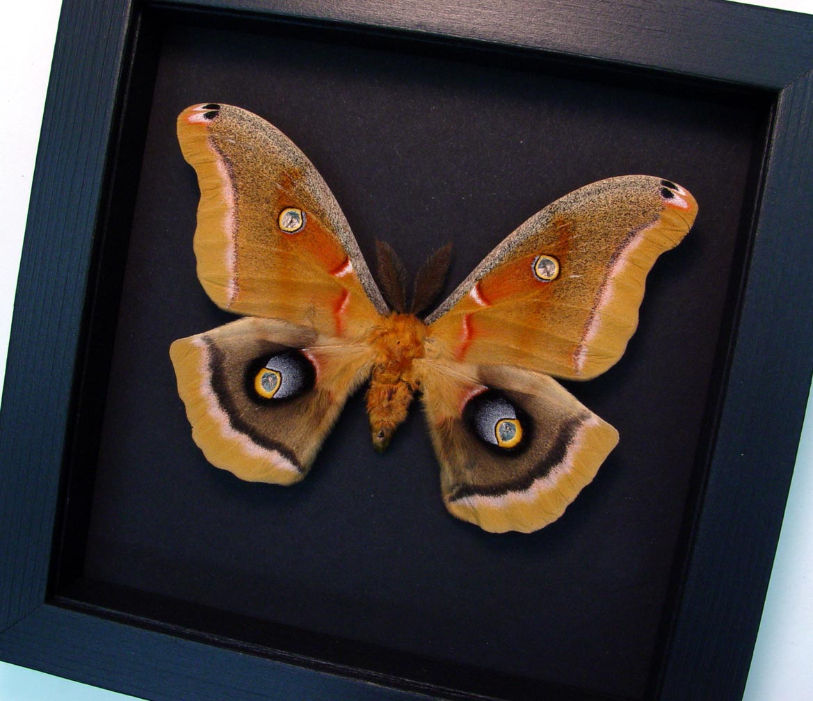 Antheraea polyphemus male Framed Moth Silkmoth Moonlight Display ooak