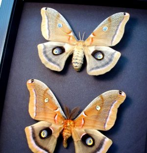 Antheraea polyphemus Pair Silkmoths Moths Moonlight Display ooak