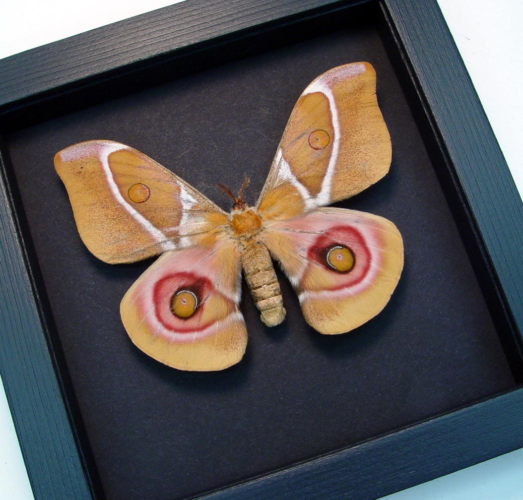 Antherina suraka Female Madagascar Emperor Moth Moonlight Display ooak