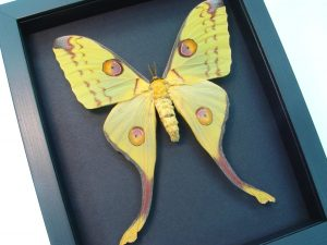 Argema mittrei Female Comet Moon Moth Moonlight Display OOAK