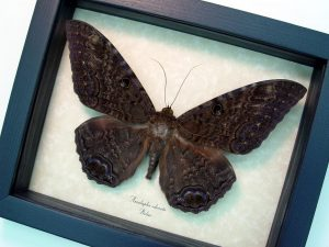 Black Witch Moth Ascalapha odorata Large