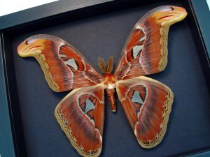 Attacus Atlas Male large Moth Snake Head Moonlight Display