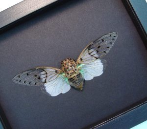 Ayuthia spectabilis White Ghost Cicada Moonlight Display ooak