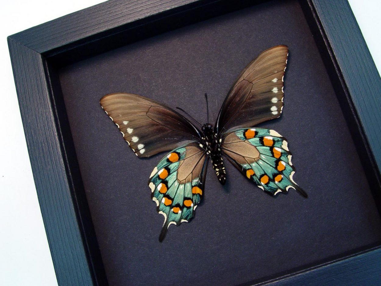 Battus philenor Verso Pipevine Swallowtail Butterfly Moonlight Display