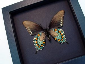 Battus philenor Verso Pipevine Swallowtail Butterfly Moonlight Display ooak