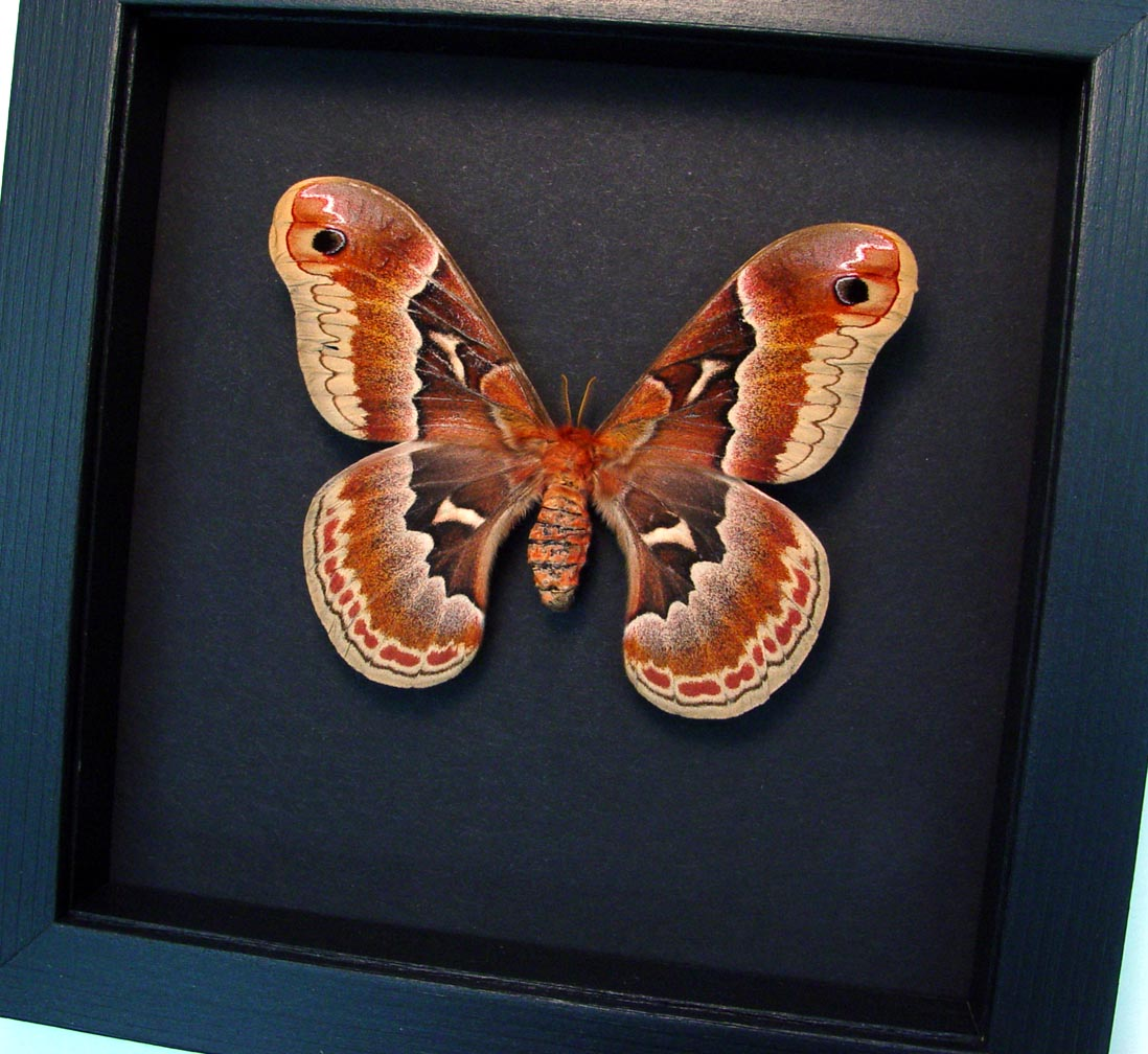 Callosamia promethea Female Silk Moth Moonlight Display ooak