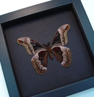 Callosamia promethea Male verso Silk Moth Moonlight Display ooak