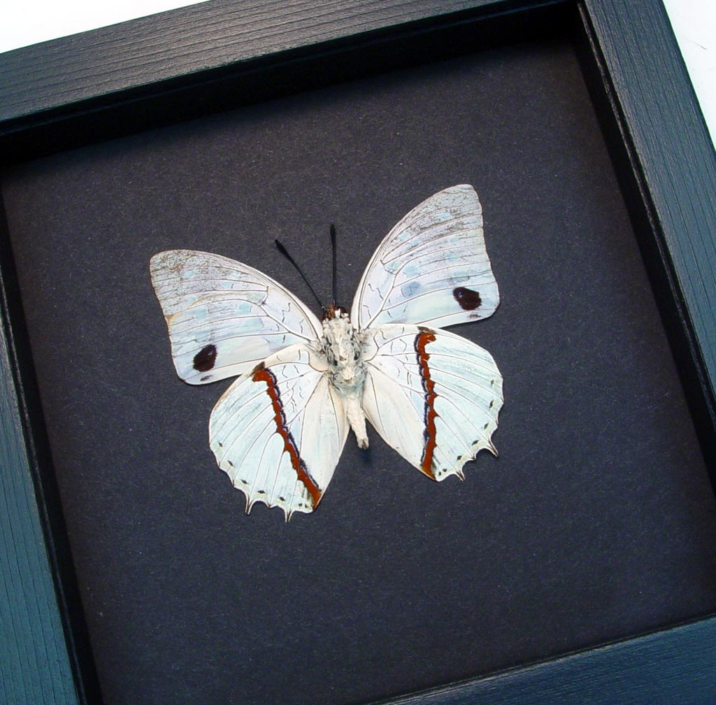 Charaxes hadrianus White African Butterfly Moonlight Display ooak