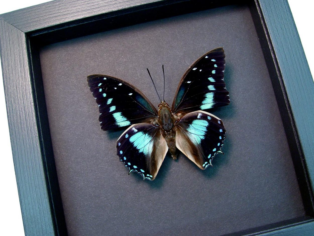 Charaxes imperialis Imperial Blue Butterfly Moonlight Display ooak