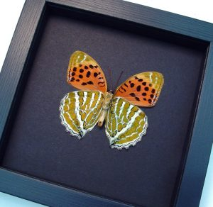 Childrena childreni female Himalayan Fritillary Butterfly Moonlight Display ooak